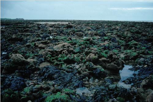 LR.HLR.MUSB.Sem.FvesR Semibalanus balanoides, Fucus vesiculosus and red seaweeds on exposed to moderately exposed eulittoral rock, Tarn Bay, Ravenglass. Roger Covey © JNCC