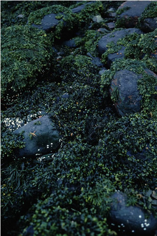 LR.LLR.F.Fspi.FS Fucus spiralis on full salinity sheltered upper eulittoral rock, NW of Carness, Loch Leven. Teresa Bennett © JNCC