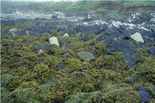 LR.LLR.F.Fspi.FS Fucus spiralis on full salinity sheltered upper eulittoral rock, S of Skelbrae, Otters Wick, North Sanday. Sue Scott © JNCC