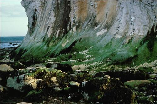 LR.FLR.CVOV.ChrHap Chrysophyceae and Haptophyceae on vertical upper littoral fringe soft rock, Culver Cliff (North). David George © JNCC