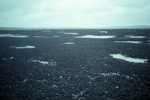 LS.LMX.LMUS.Myt.Mu Mytilus edulis beds on littoral mud, Burry Inlet. Aethne Cooke © NRW
