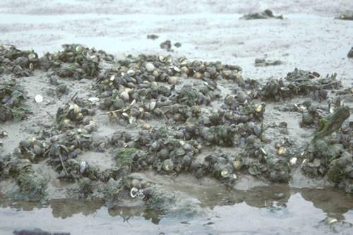 LS.LMX.LMUS.Myt.Sa Mytilus edulis beds on littoral sand, Burry. Gabrielle Wyn © NRW