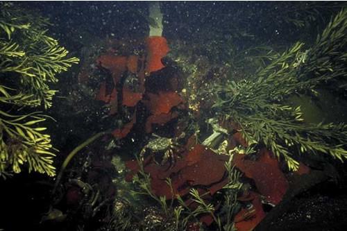 IR.HIR.KSED.XKHal Halidrys siliquosa and mixed kelps on tide-swept infralittoral rock with coarse sediment, Bun Sruth, Western Isles. ANON © JNCC