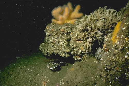 CR.MCR.ECCR.FaAlCr.Sec Alcyonium digitatum with Securiflustra securifrons on tide-swept moderately wave-exposed circalittoral rock, ENE Emanuel Head, Berwick. Rohan Holt © JNCC