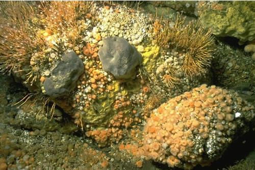 CR.HCR.FAT.CTub.CuSp Tubularia indivisa and cushion sponges on tide-swept turbid circalittoral bedrock, S end, Kyle Rhea, Skye. Sue Hiscock © JNCC