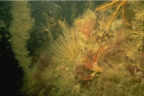 IR.MIR.KR.LhypT.Ft Laminaria hyperborea forest, foliose red seaweeds and a diverse fauna on tide-swept upper infralittoral rock, Pinnacle in mouth of Loch Craignish. Christine Howson © JNCC