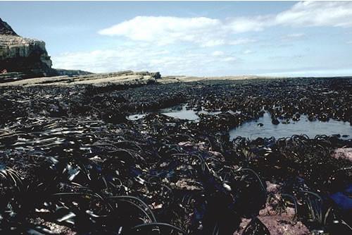 IR.MIR.KR.Ldig Laminaria digitata on moderately exposed sublittoral fringe rock, Thornwick Bay, Flamborough Head. Paul Brazier © JNCC