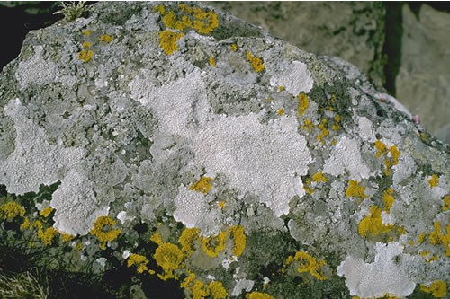 LR.FLR.LIC.YG Yellow and grey lichens on supralittoral rock, W. Side of Rerwick Head, Shapinsay Sound. Roger Covey © JNCC