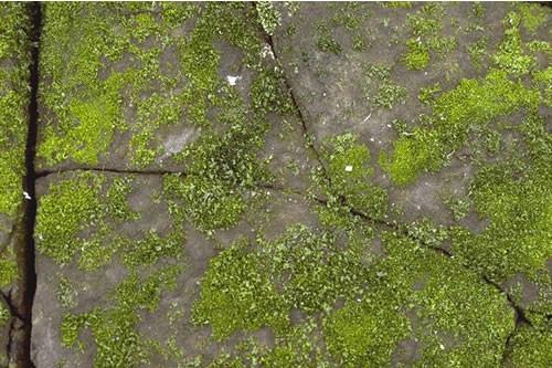 LR.FLR.LIC.Pra Prasiola stipitata on nitrate-enriched supralittoral or littoral fringe rock, Low Newton, Seahouses. Judy Foster-Smith © JNCC