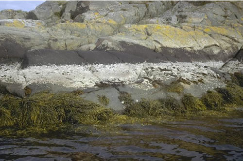 LR.FLR.LIC.Ver Verrucaria maura on littoral fringe rock, Near Paradise Bay, Loch Sween. ANON © JNCC