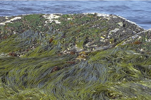 LR.HLR.FR.Him Himanthalia elongata and red seaweeds on exposed to moderately exposed lower eulittoral rock, Quear of Eastafea, Rousay Sound. Sue Scott © JNCC