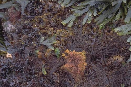LR.MLR.BF.Fser.R Fucus serratus and red seaweeds on moderately exposed lower eulittoral rock, Knowe of Stenso, Eynhallow Sound. Sue Scott © JNCC