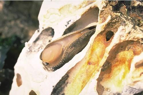 LR.MLR.BF.Fser.Pid Fucus serratus and piddocks on lower eulittoral soft rock, Birling Gap. David George © JNCC