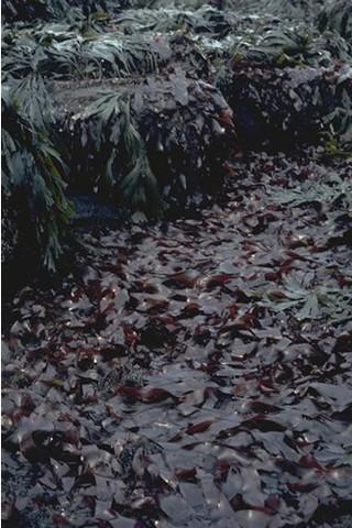 LR.HLR.FR.Pal Palmaria palmata on very exposed to moderately exposed lower eulittoral rock, Headagee, Newbiggin. Paul Brazier © JNCC