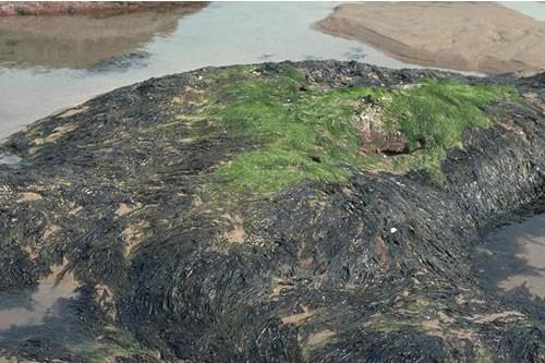 LR.FLR.EPH.EntPor Porphyra purpurea and Enteromorpha spp. on sand-scoured mid or lower eulittoral rock, Great Carr, North Berwick. David Connor © JNCC