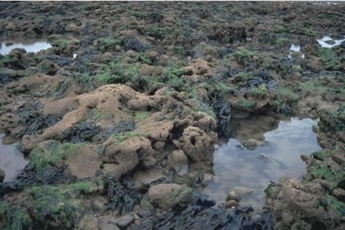 LR.MLR.SAB Littoral Sabellaria honeycomb worm reefs, Tarn Bay, Ravenglass. Roger Covey © JNCC