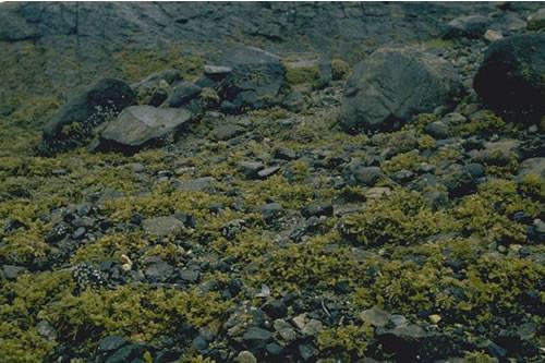 LR.LLR.F.Fspi.X Fucus spiralis on full salinity upper eulittoral mixed substrata, Channel between Ardteaginish and Or Eilean, Scalpay, East Loch Tarbert, Harris. Francis Bunker © JNCC