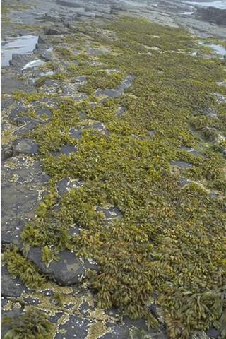 LR.LLR.F.Fspi.FS Fucus spiralis on full salinity sheltered upper eulittoral rock, Long Taing of Newark, South Sanday. Sue Scott © JNCC