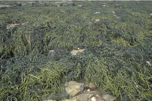 LR.LLR.F.Asc Ascophyllum nodosum on very sheltered mid eulittoral rock, Brada, Longstone, Farne Islands. Keith Hiscock © JNCC