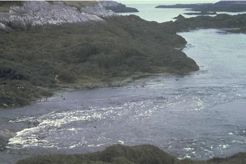 LR.HLR.FT.AscT Ascophyllum nodosum, sponges and ascidians on tide-swept mid eulittoral rock, Bagh na Haun. ANON © JNCC