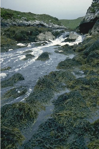 LR.HLR.FT.AscT Ascophyllum nodosum, sponges and ascidians on tide-swept mid eulittoral rock, Loch nam Bodach, Loch nam Bodach, Lewis. Rohan Holt © JNCC