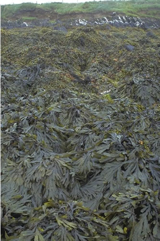 LR.LLR.F.Fserr.FS Fucus serratus on full salinity sheltered lower eulittoral rock, Long Taing of Newark, South Sanday. Sue Scott © JNCC