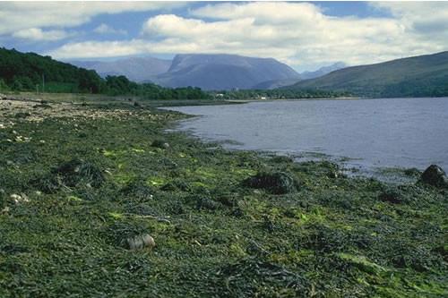 LR.LLR.F.Asc.X Ascophyllum nodosum on full salinity mid eulittoral mixed substrata, NE of Dorathy Stone, Loch Eil. Charlotte Johnston © JNCC