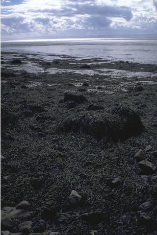 LR.LLR.F.Asc.X Ascophyllum nodosum on full salinity mid eulittoral mixed substrata, Brean Down, Severn Estuary. Kate Northen © JNCC