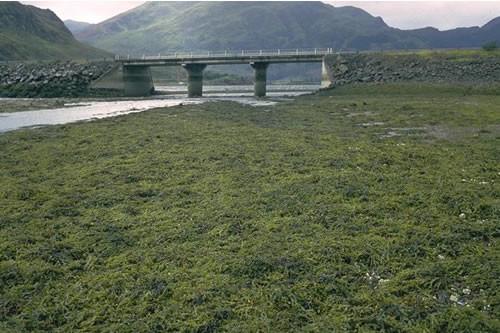 LR.LLR.F.Asc Ascophyllum nodosum on very sheltered mid eulittoral rock, E of causeway, Ault a chruinn, Loch Duich. David Connor © JNCC
