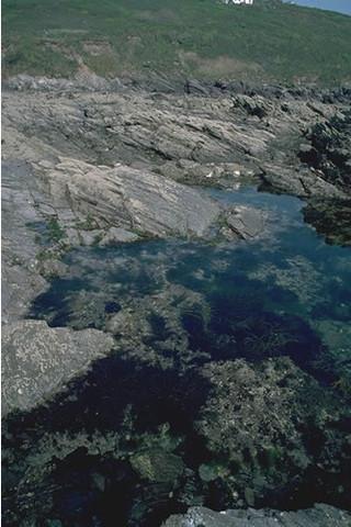LR.FLR.RKP.Cor.Bif Bifurcaria bifurcata in shallow eulittoral rockpools, Wembury, Plymouth. Keith Hiscock © JNCC