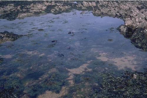 LR.FLR.RKP.SwSed Seaweeds in sediment-floored eulittoral rockpools, S of Rosemullion Head. Keith Hiscock © JNCC