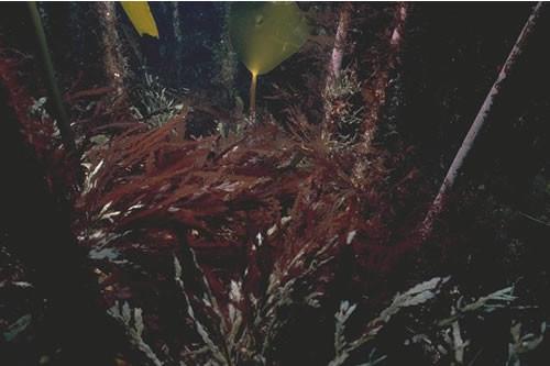 IR.HIR.KFAR.LhypR.Ft Laminaria hyperborea forest with dense foliose red seaweeds on exposed upper infralittoral rock, S of Skrowa Skerry, SW Mainland, Orkney. Sheila Woodman © JNCC