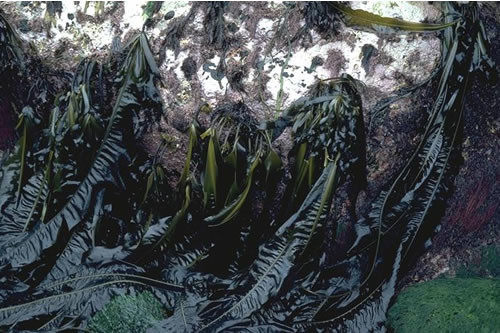 IR.HIR.KFAR.Ala.Myt Alaria esculenta, Mytilus edulis and coralline crusts on very exposed sublittoral fringe bedrock, Plumb Island, St Martins, Scilly. Roger Mitchell © JNCC