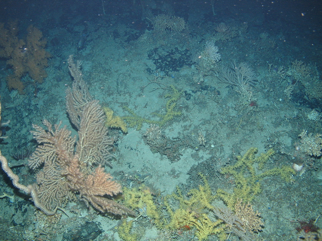 M.AtLB.Bi.CorRee.SolFra Mixed coral assemblage on Atlantic lower bathyal Solenosmilia reef framework (biogenic structure), Anton Dohrn seamount. ANON © JNCC/University of Plymouth