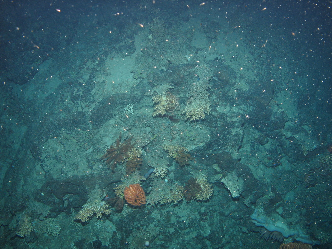 M.AtLB.Ro.MixCor.DisSol Discrete Solenosmilia variabilis colonies on Atlantic lower bathyal rock and other hard substrata, Anton Dohrn seamount. ANON © JNCC/University of Plymouth